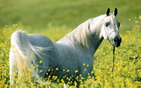 white_horse_wallpaper_31