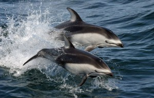 pacific_white-sided_dolphins_-lagenorhynchus_obliquidens-.jpg