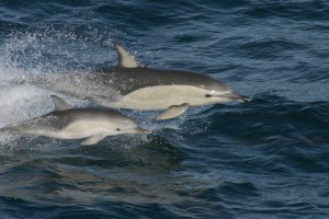 kozonseges-delfin-bebivel_delphinus_delphis_with_calf.jpg